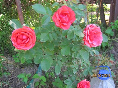Канадские розы.Как я укрываю.