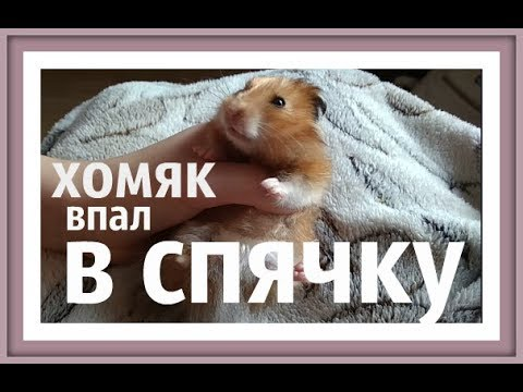 ХОМЯК В СПЯЧКЕ hamster hibernate Впадают ли хомяки в спячку Хомяк впал в спячку СПЯЧКА ХОМЯКОВ