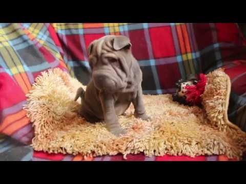 Sharpei Puppy Toy Size