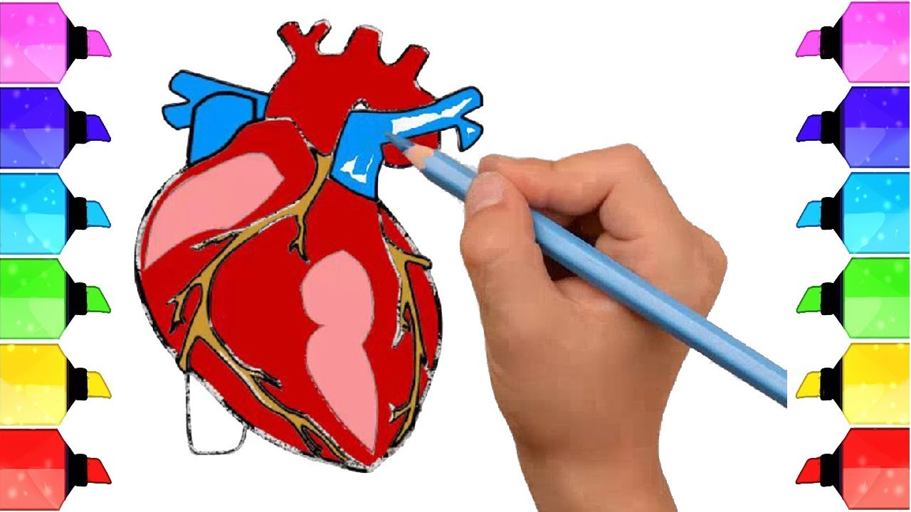 How To Draw Human Heart Anatomy Color Drawing For Kids Youtube