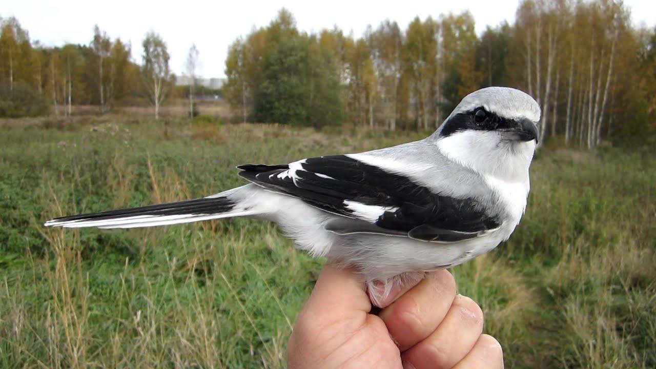 Great Grey Shrike, Lanius excubitor - Birds - NatureGate