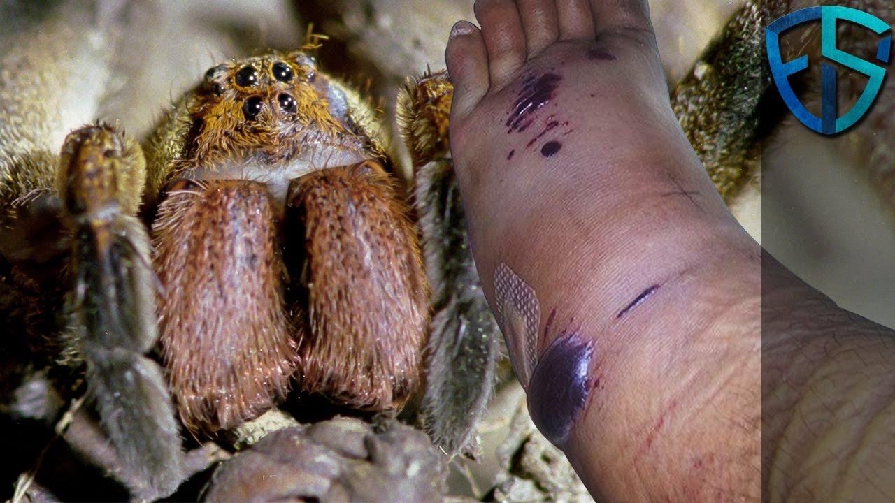 Maailman Myrkyllisin Hämähäkki
