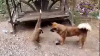 Khỉ trêu chọc chó mèo Clip hài hước