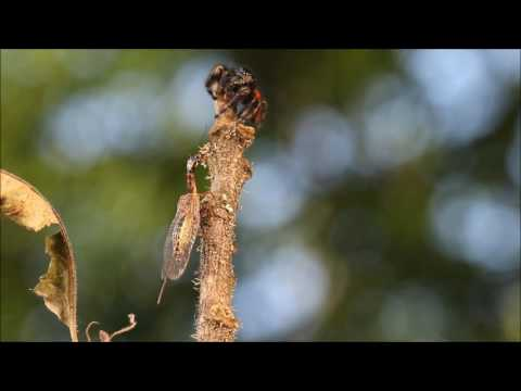 Snakefly versus Phidippus male