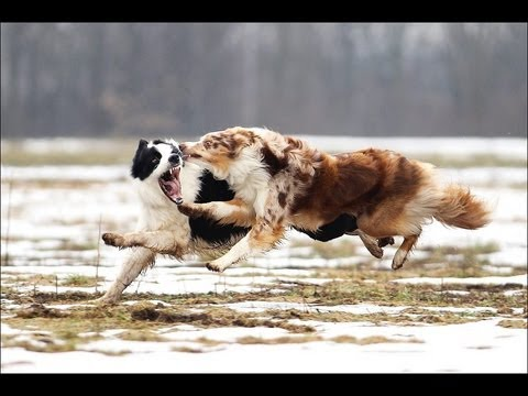Power of the Border Collie