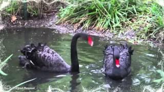Константин Крымский-Два черных лебедя...1080рHD