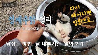 청계수탉 정리, 닭 잡는 방법,  닭 내부기관 알아보기…