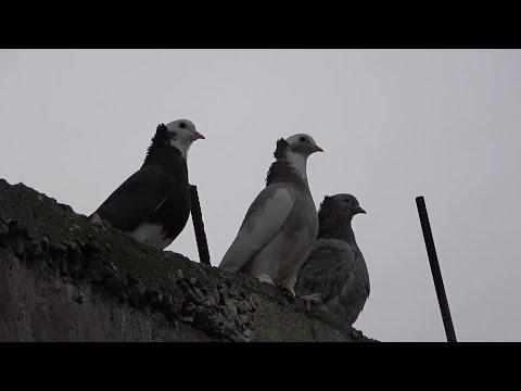 БОЙНЫЕ ГОЛУБИ В КРЫМУ Ленинаканские голуби самые лучшие!Армянские голуби )