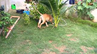 Bullmastiff Attacks Owner!