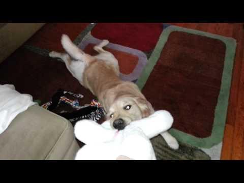 Dog Tossing Around Rabbit (Stuffed Animal Toy) - English Cream Golden Retriever