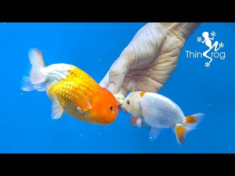 4 Best Goldfish Foods