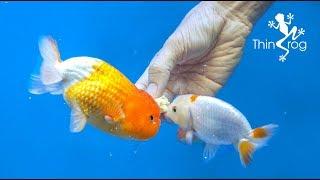 4 Best Goldfish Foods