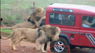 African animals - lions attack - wild animals attacking people