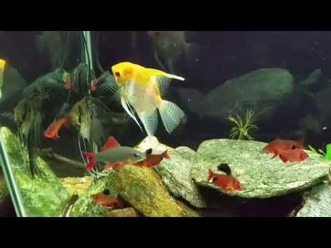 I've Never Seen My Angelfish Do This When Spawning