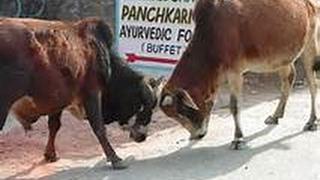 Gambar cover Village Cow War Competion    গ্রাম বাংলার গরু লরাই । না দেখলে মিস