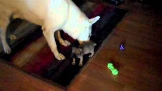 Bugg Puppy and German Shepherd Playing Thumbnail