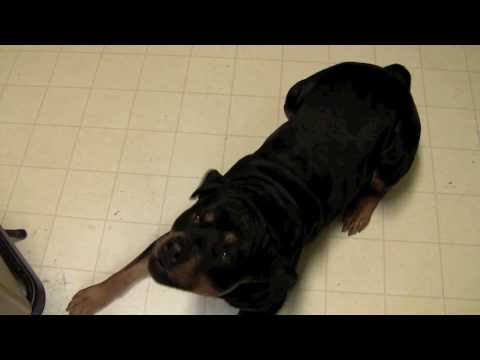 Rottweilers are smart but stubborn!