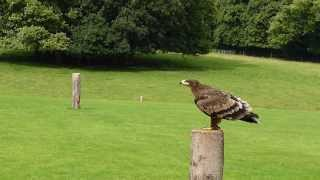 Steppe Eagle at ICBP Duncombe