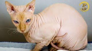 Złota Piątka: Najdziwniejsze rasy kotów!