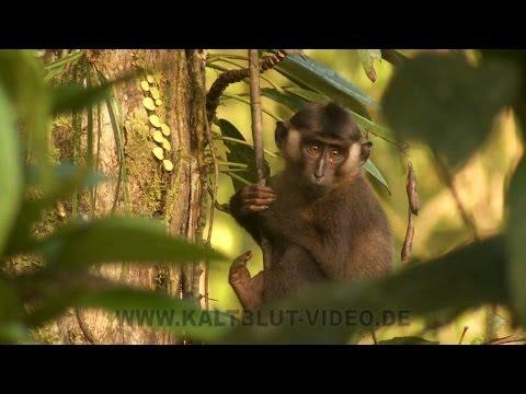 Monkeys of Siberut, Monyet