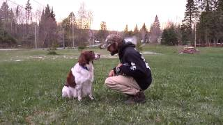 Springer Spaniel Retreiver Training