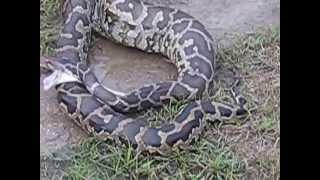 burmese python miami