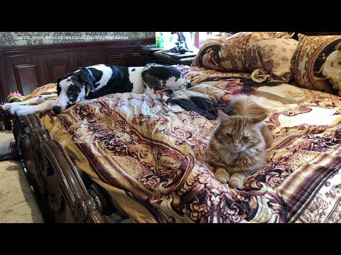 Great Dane Puppy And Cat Enjoy A Nap On The Bed