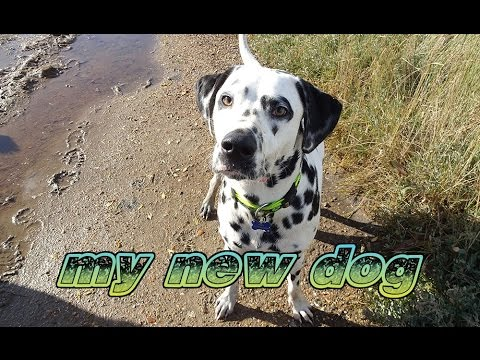 My first Dog - Dalmatian Ownership!