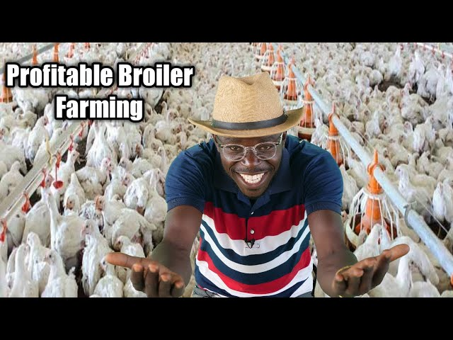 HOW TO START PROFITABLE BROILER FAMING BUSINESS