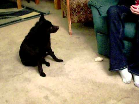 "Funny dog ""Bear"" (schipperke).MOV"