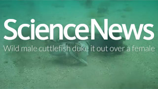 Wild male cuttlefish duke it out over a female | Science News