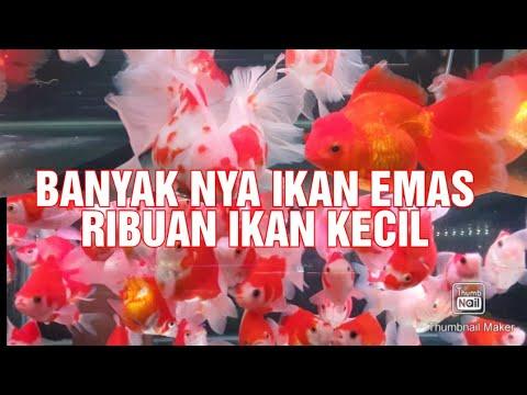 Download IKAN EMAS PALING CANTIK PART 2 #ikanemaspalingcantikpart2