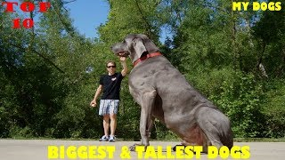 Top 10 Biggest & Tallest Dogs In The World