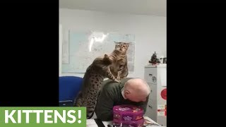 Egyptian Mau cats play fight atop human's back