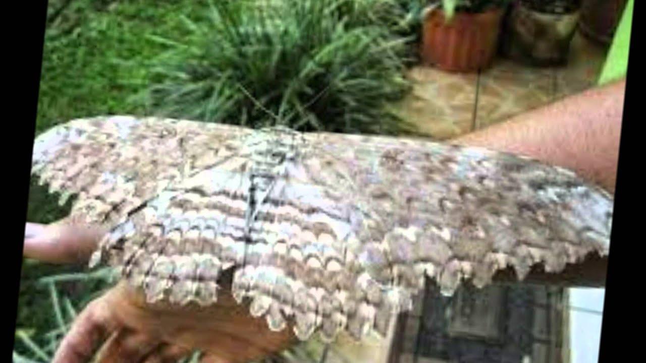 Mariposa agripa o emperador la m s grande del mundo youtube for Cual es la cama mas grande