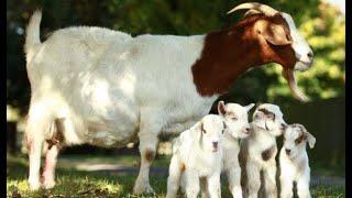 Cesarean section delivery in goat   Parto por cesárea en cabra   Parto cesáreo em cabras