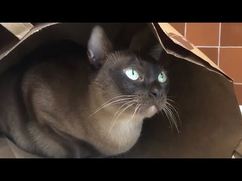 Burmese in a bag