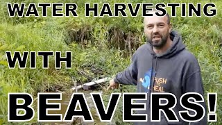 Water Harvesting With Beavers! Working With Nature.