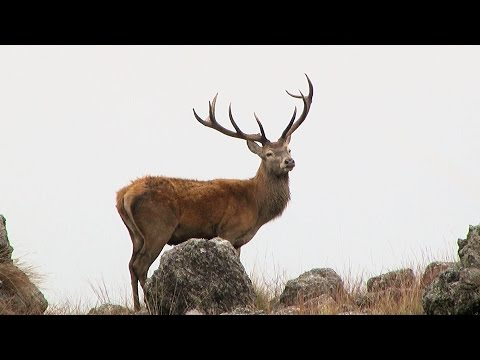 Red Stag Hunting In Argentina