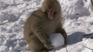 Macaques play with snowballs - Snow Babies - BBC One Christmas 2012