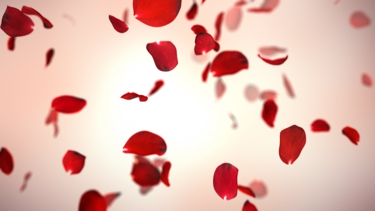 falling red rose petals background 4k youtube