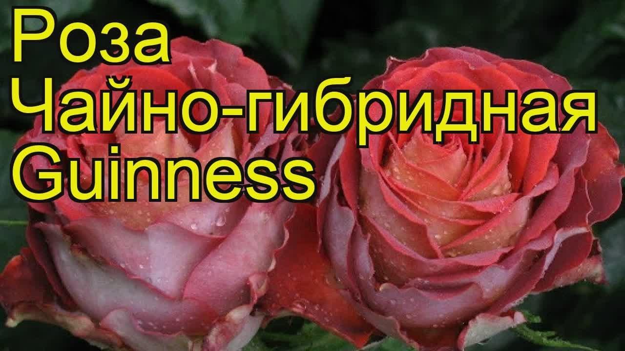 Чайно-гибридные розы: фото и видео лучших сортов с названиями и описанием, чайно. Роза малибу | купить саженцы розы | фото и описание сорта|.