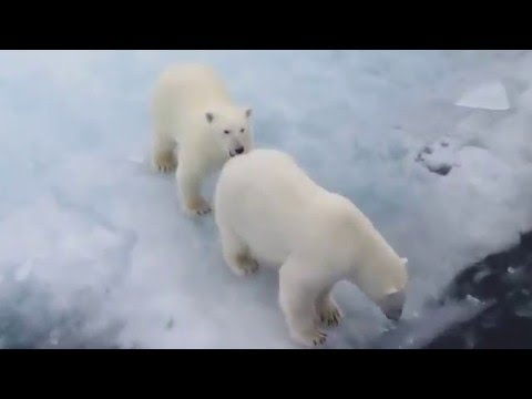 An Amazing Polar Bear Encounter on A&K's Northwest Passage Voyage