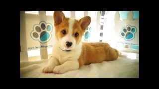 Pembroke Welsh Corgi Puppies For Sale!