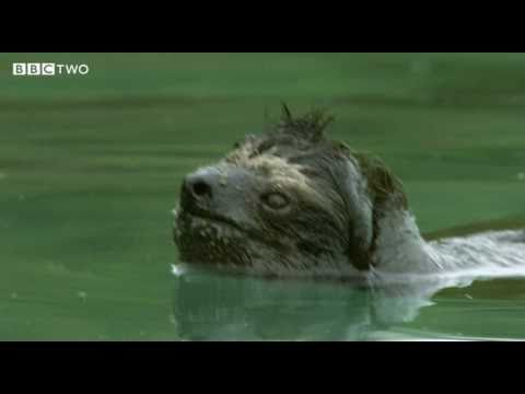 Rare Swimming Pygmy Sloth - Decade Of Discovery - BBC Two