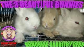 22 Days Old Baby Bunnies - June 19, 2019 - Bongskie Rabbitry Cebu