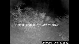mysterious and unexplained creature lurking in the woods with audio commentary