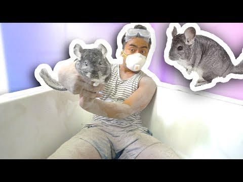 Thumbnail: CHINCHILLA DUST BATH CHALLENGE!