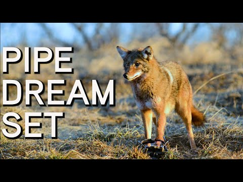 Pipe Dream Set for Coyotes | Coyote Trapping