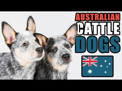 6 Facts About The Australian Cattle Dog | Talkin' Dogs List Show